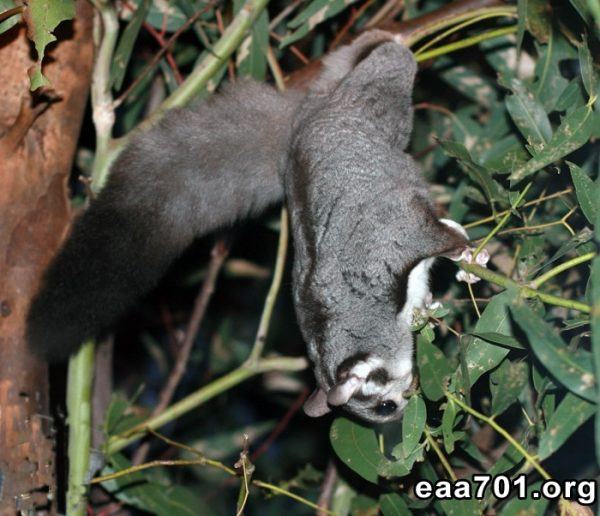 Squirrel glider images