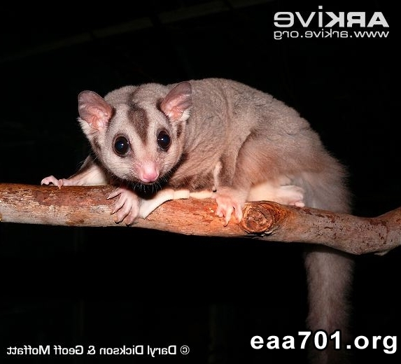 Squirrel glider photos