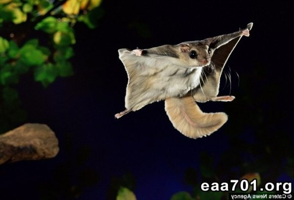 Sugar glider images flying