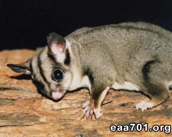 Sugar glider pet images