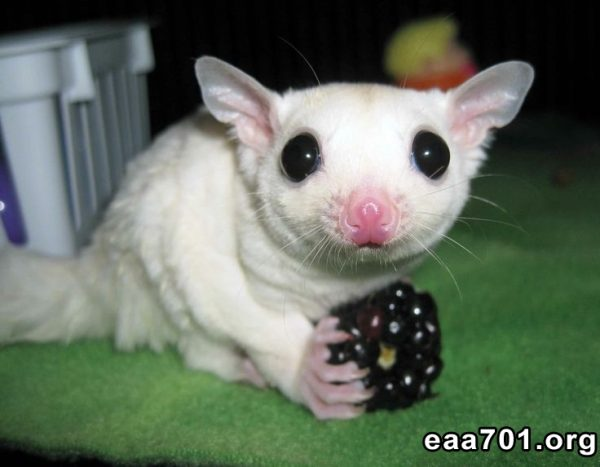 Sugar glider photo gallery