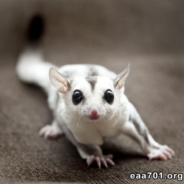 Sugar glider photos