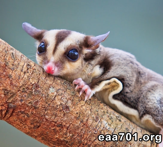 Sugar glider photos and images