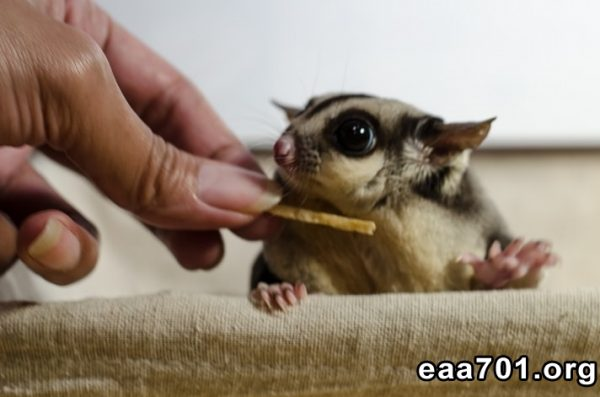sugar-glider-photos-and-images-4